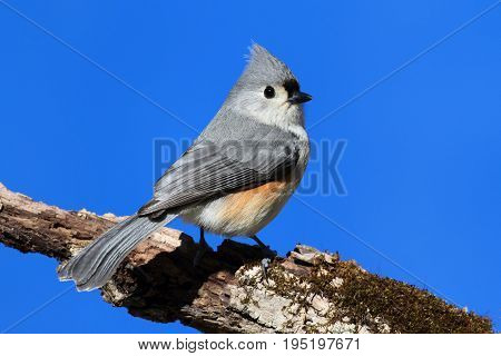 Tufted Titmouse (baeolophus bicolor) on a stick with a blue background