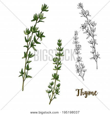 Full color realistic sketch illustration of thyme, vector illustration