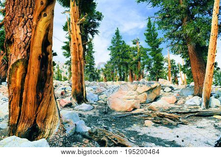 Lodgepole Pine trees also known as twisted pines taken at an alpine forest in the high altitudes of the Sierra Nevada Mountains, CA