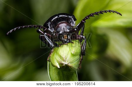Male Broad Necked Root Borer Beetle on a hosta flower bud that is shiny and black with his bug eyes clearly visible