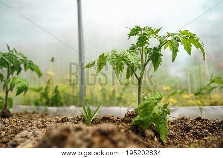 Tomato plants and cucumber plants in vegetable greenhouses. Tomato seedling before planting into the soil, greenhouse plants, drip irrigation,
