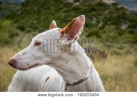 Podenco Ibicenco - White Ibizan Warren Hound, is one of the medium-sized greyhounds descended from the dogs of ancient Egypt. Very old and pure race. Portrait, detail of long snout and ears