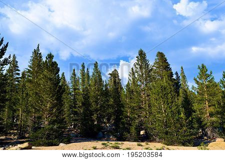 Alpine Meadow surrounded by a pine forest taken in the Sierra Nevada Mountains, CA