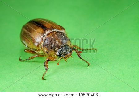 Isolated Common Cockchafer On Green Background