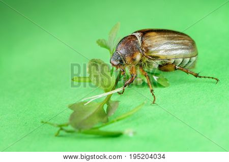 Common Cockchafer From Side View On Green Background With Leaves