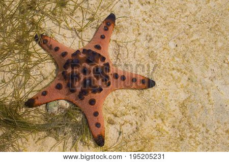 Red pillow starfish on white sand in sea water. Shallow sea water during low tide. Seashore underwater animal. Red star fish on white sand. Coral beach with marine animal. Star fish on seashore photo