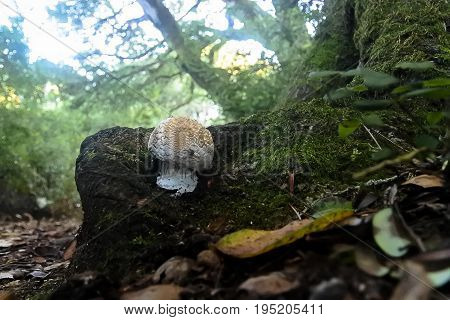 Mushroom Nestled Among Tree Roots in the Forest.
