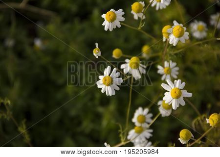 vegetable patches of Matricaria chamomilla can be used in herbal therapy on a Field of bright daisy flowers