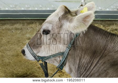 Cattle young gray cow in close proximity to the stall