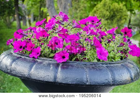 In summer in the park there is a large metal container with pink fragrant petunia flowers