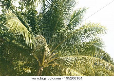 Green palm tree leaf with coconut. Summer travel vintage toned photo. Fluffy palm crown. Coco palm foliage. Warm sepia postcard from holiday destination. Tropical island idyllic view. Vacation banner