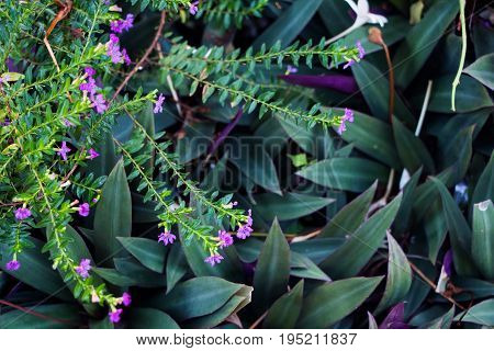 Purple tropical flowers Cuphea hyssopifolia and Rhoeo
