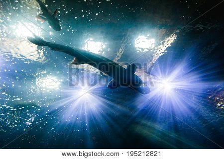 Sturgeon In Shadows Of Aquarium Lights