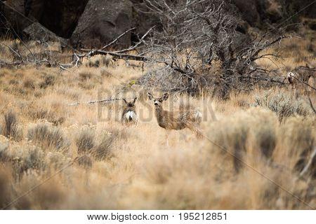 Mule Deer In Dry Grass