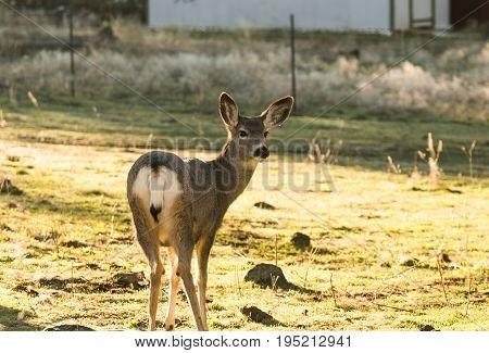 Mule Deer Standing In Home Yard