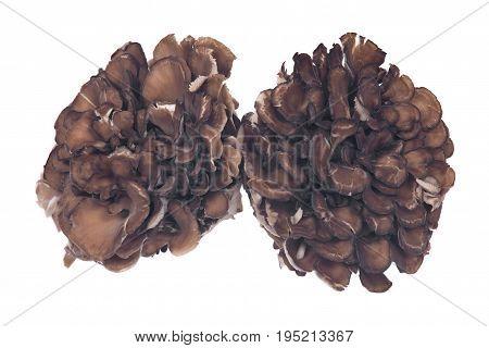 Organic maitake immune enhancing medicinal mushroom, hen of the wood isolated on white background
