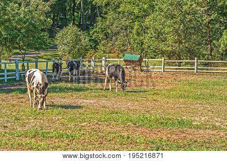 Young bulls in a pen for summer animals walking in Mezhyhirye near Kiev.