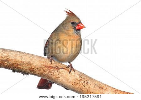 Female Northern Cardinal (Cardinalis) Isolated on a white background