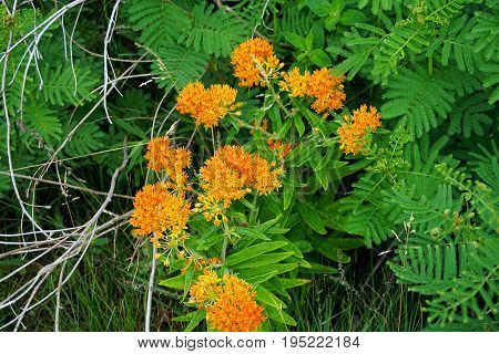 Orange butterfly weed flowers (Asclepias tuberosa) bloom during June in Plainfield, Illinois.