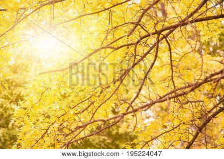 Yellow maple leaves on a twig in autumn at boston