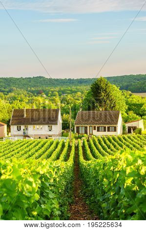 Vine green grape in champagne vineyards at montagne de reims on countryside village background France