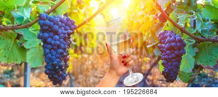 Woman holding a wine glass on vine grapes in champagne region in autumn harvest background France