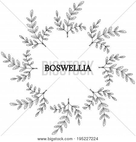 Indian Frankincense Salai or Boswellia serrata vintage illustration.Olibanum-tree Boswellia sacra , aromatic tree. Ink hand drawn herbal illustration. Round frame border.