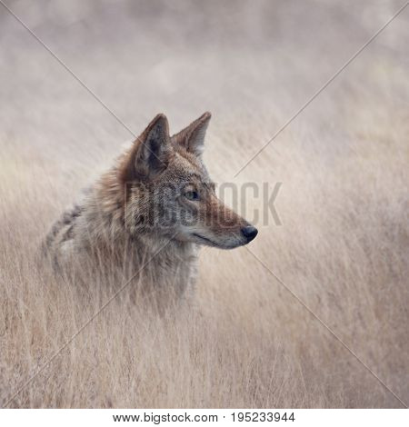 Close Up image of Coyote in a grassland