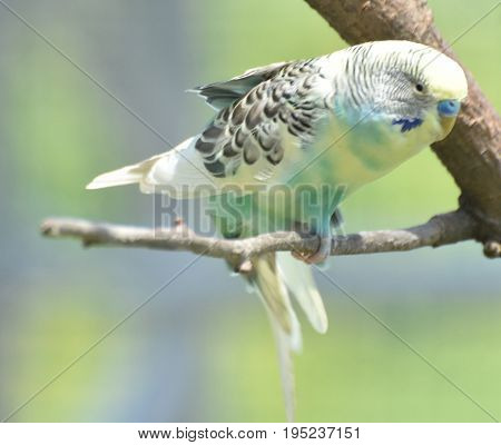 Budgie with ruffled feathers and wings partially extended.