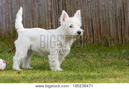 Whit Terrier playing on a green lawn with a ball