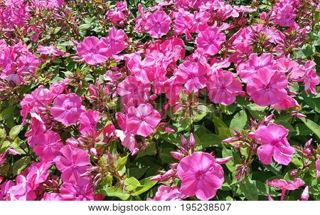 Beautiful purple Petunias Petunia hybrida in garden soft focus