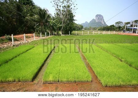 experimental rice field  .for increasing rice production in wet tropical rice field