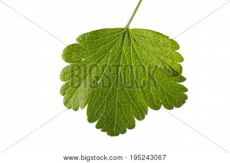 Great green currant leaf, isolated on a white background. Beautiful and green color summer leaves. Black or bright red currant leaf. Summer fruit leaves.