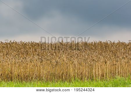 Natural Field Of Golden Wheat With Dark Sky And Clouds