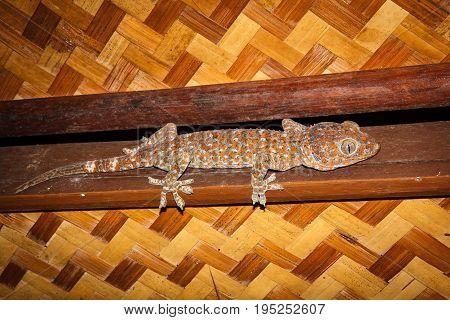 Gekko gecko in El NidoPalawan Island Philippines.