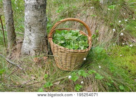 The collection of components for medicinal herbal tea. A basket full of cut leaves of the cloudberry swamp