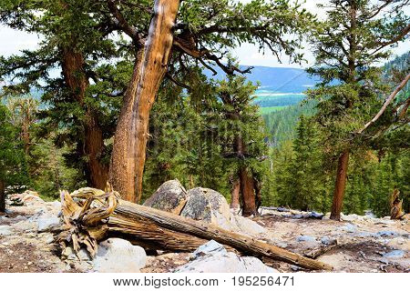 Lodgepole Pine Trees taken in the high altitudes of the Sierra Nevada Mountains, CA