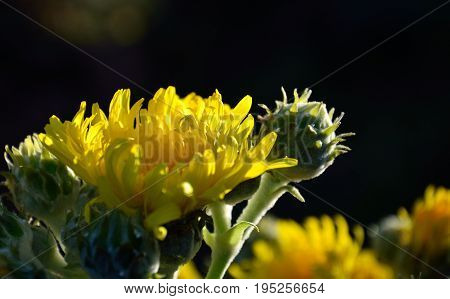 Bright yellow flowers in foreground, endemic wild plant of Canary islands, Sonchus acaulis