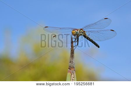 Isolated dragonfly on agave tip with blue and green background