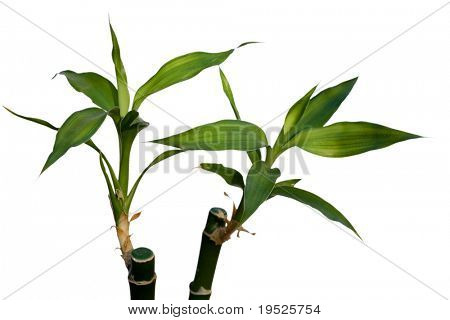 pair of green bamboo shoots isolated on white background