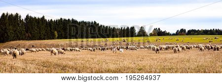Herd Of Sheeps And Goats On A Field, Panorama