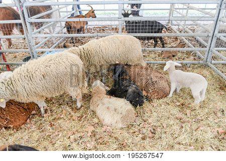 Rural Feast In Agno On Switzerland