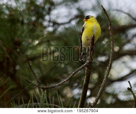 American Goldfinch perched on a branch in a pine tree