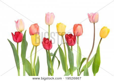 colourful tulips isolated on white