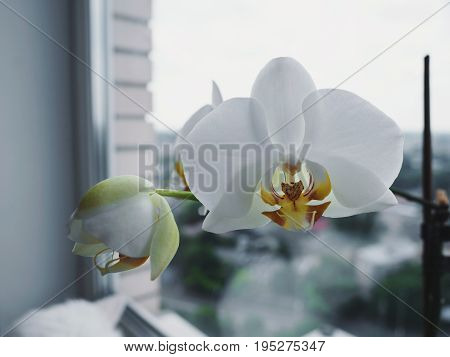 Beautiful big White orchid on the home window,