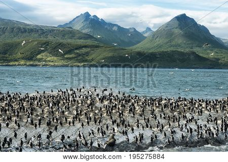 Colony of King Cormorants On Ilha Dos Passaros Located on the Beagle Channel Tierra Del Fuego Argentina