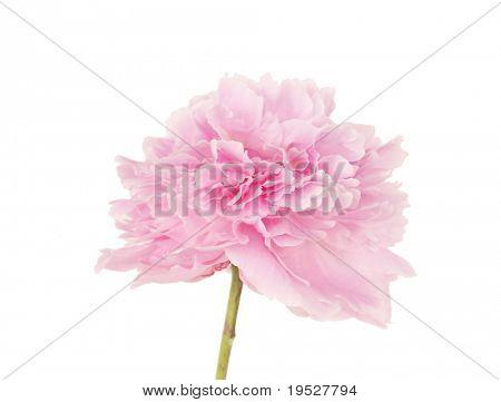 single pink peony flower isolated on white background