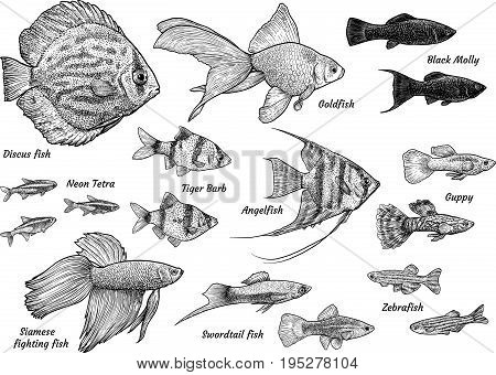 Collection of aquarium fish illustration, drawing, engraving, ink, line art