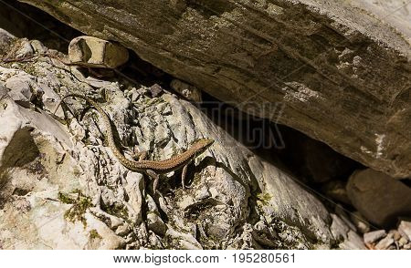 slender young brown lizard basking in the sun in front of a cleft in the rocks ready to escape spryatatsya