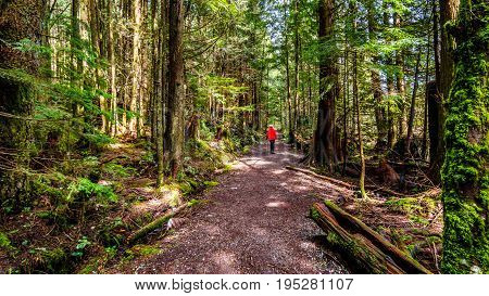Woman hiking on a trail through the temperate rain forest of Rolley Lake Provincial Park near the town of Mission in British Columbia, Canada
